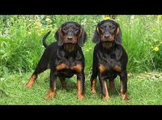 Image result for coonhound puppy