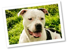 Meet the breed: American Pit Bull Terrier