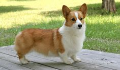 Welsh Corgi, look at those cute short legs♥