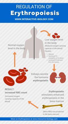 Regulation of Erythropoiesis Infographic