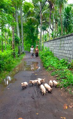 Padang Bai Village.  Walking the pigs.  Beyond Villas Bali has a selection of beautiful villas, all over Bali, to suit every style & Budget. www.beyondvillas.com