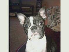 Daisy is an adoptable Boston Terrier Dog in New York, NY. Meet SNORT's latest little lovebug, Daisy! And, what a true lovebug she is! Daisy loves people - both kids and adults, other dogs, and has an ...
