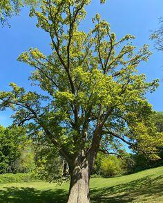 #oaktree Oak Tree, Plants, Plant, Planets