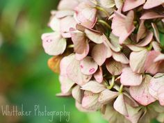 Autumn Hydrangea.....we had these in our wedding :)