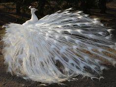 White Peacock BEAUTIFUL !
