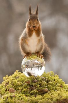 keep it warm - red squirrels standing on crystal ball looking at the viewer Fox Squirrel, Squirrels, Animals And Pets, Cute Animals, Summer Pictures, Chipmunks, Pet Portraits, Kittens Cutest, Pet Birds