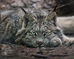 "Canadian Lynx. ""It's like a wolf of the feline world""...it really does kinda look like a wolf. I'd love to see one in person!"