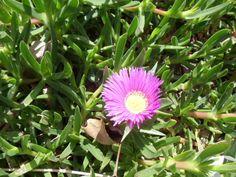 purple daisy (I think)