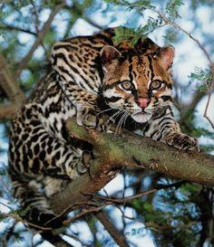 Jaguatirica ou gato-do-mato