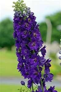 Purple Delphinium.