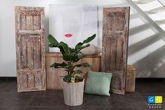 Musa of bananenboom. Een boom wordt het wel (boompje) maar de bananen zullen zich in een woonhuis niet vertonen.