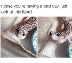 It's a gecko you idiots. A leopard gecko. Cute Animal Memes, Cute Funny Animals, Funny Animal Pictures, Cute Baby Animals, Funny Cute, Animals And Pets, Hilarious, Cute Lizard, Cute Gecko