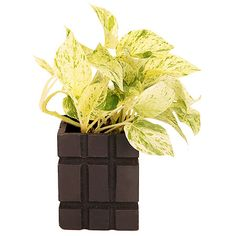 Buy #Christmas green plants for décor your Christmas festival. http://bit.ly/1pPaMWs