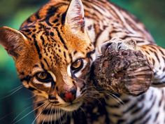 The American subspecies of the ocelot has dwindled to between 50 and 80 cats. 95% of their U.S. habitat, which once extended across Texas into Arkansas and Louisiana, has been converted to agriculture and suburban sprawl. They are now confined to two small populations in South Texas.