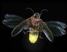 Firefly at nightFireflies have helped humans learn to make light without creating heat. This has benefitted people in many ways, from making glow sticks and toys that light up, to helping cure disease. WOW - the firefly is definitely a beneficial bug. Lighting Bugs, Lighting Ideas, Cool Bugs, Fotografia Macro, Animal Facts, Bugs And Insects, Macro Photography, Animal Photography, Mother Nature