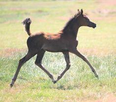 Paard te koop: Arabier - Dekhengst - Hengst - te koop arabische volbloed dekhengst | HorseStep