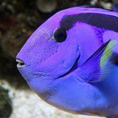 Purple Tang - no one does it as well as Mother Nature. Underwater Creatures, Underwater Life, Ocean Creatures, Beautiful Sea Creatures, Animals Beautiful, Salt Water Fish, Exotic Fish, Sea Fish, Beautiful Ocean