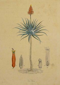 Vintage Botanical Prints, Botanical Drawings, Botanical Art, Line Drawing Tattoos, Scientific Drawing, Plant Drawing, Nature Illustration, Nature Prints, Exotic Plants