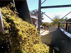 Our first load of Chenin Blanc for this year's harvest is in! Chenin Blanc, Tasting Room, Wines, Harvest