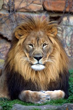 It's funny how regular house cats mimic wild animals like Lions. Mine sits like this ALL the time and all the long fur around his head makes him look like a mini gray lion animals Cute Baby Animals, Animals And Pets, Wild Animals, Beautiful Cats, Animals Beautiful, Big Cats, Cats And Kittens, Gato Grande, Tier Fotos