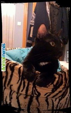 Cat memes Meet my little home mate...