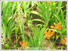 angínovník čínský, foto med Plants, Plant, Planets