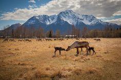 Visit the Williams Reindeer Farm in Palmer, Alaska this summer. Babies, babies, and more babies! AKontheGO/David Ryan Taylor Photography/Erin Kirkland