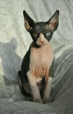 Cat Care Keeping Your Cat Healthy and Your Home Clean Rare Cats, Cats And Kittens, Pretty Cats, Beautiful Cats, I Love Cats, Cool Cats, Elf Cat, Sphinx Cat, Cat Breeds