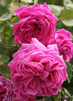 ~Rosa 'Grandmother's Hat'