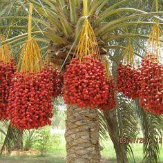 행운목 Fruit Trees, Trees To Plant, Palm Trees, Hydroponic Gardening, Hydroponics, Fruit World, Importance Of Trees, Fresh Dates, Plant Fungus