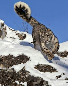 Clouded Snow Leopard Bounding Down the Mountain Side.
