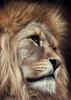 Lion Portrait. Soft pastel on pastel card by Christina Schulte