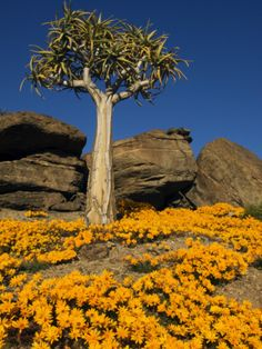 [ Image Source ] Namaqualand is an arid region of Namibia and South Africa.It is divided by the lower course of the Orange River into t. Beautiful World, Beautiful Places, Imagen Natural, Places To Travel, Places To Visit, Flora, Namibia, Out Of Africa, Africa Travel