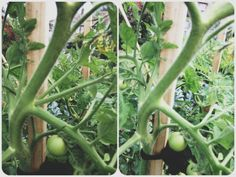 How to stake your tomatoes and care for your tomatoes so that they produce heaps of tomatoes