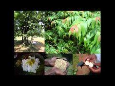 Medicinal Rice B4 Formulations for Backache: Pankaj Oudhia's Medicinal P...