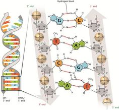 Discovery of DNA Double Helix: Watson and Crick Cell Biology, Molecular Biology, Ap Biology, Teaching Biology, Science Biology, Computer Science, Molecular Structure Of Dna, Dna And Genes, Hydrogen Bond