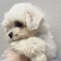 Male maltese puppies Cute mini maltese puppy Source by lowellteacuppuppies The post Cute mini maltese puppy appeared first on Calvert Kennels. Cute Small Dogs, Super Cute Puppies, Baby Animals Super Cute, Cute Baby Dogs, Cute Little Puppies, Cute Dogs And Puppies, Cute Little Animals, Cute Funny Animals, Fluffy Puppies