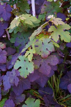 Vitis vinifera 'Purpurea' new growth in early summer on the front garden trellis. Green Fence, Planting Plan, Colour Schemes, Color Combinations, Victorian Flowers, Vitis Vinifera, Garden Trellis, Garden Styles, One Color