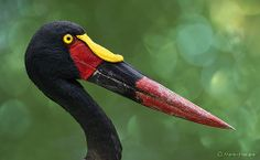 Portrait of a Saddle-billed Stork (Ephippiorhynchus senegalensis). Featured in: National Geographic Free Photos, My Photos, Vida Animal, Kinds Of Birds, Big Bird, Stork, National Geographic Photos, Bird Species, Wild Birds
