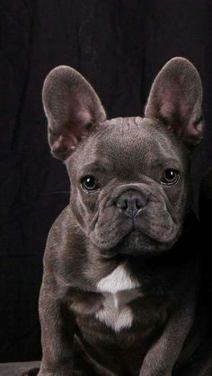 Blue French Bulldog #frenchbulldog