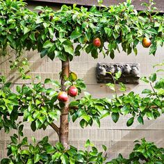 Photo: Mark Turner | thisoldhouse.com | from Grow Espaliered Trees for a Slim Fit