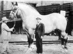 Maailman suurin hevonen Brooklyn Supreme vuonna 1928. - - The world's biggest horse in Brooklyn Supreme in 1928.