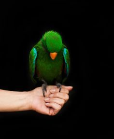Kookie, a green eclectus. Credit Jack Davison for The New York Times