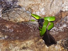 Red-tailed Trinket eating a Leaf-nosed Bat Havelock Island, Beautiful Snakes, Vivarium, Bats, Conservation, Leaves, Nature, Red, Life
