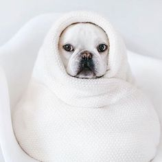 Theo, the French Bulldog, aka  #CashmereBurrito, #theobonaparte on instagram.