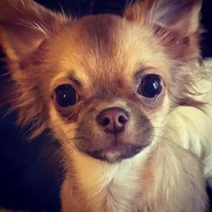Chihuahuas are excellent pets, but a dog owner must bear in mind that the Chihuahua lifespan is shorter compared to human lifespan. That said it is important that the owner to make sure that his/her Chihuahua has a long and happy life. Cute Chihuahua, Teacup Chihuahua, Chihuahua Puppies, Cute Puppies, Cute Dogs, Dogs And Puppies, Doggies, Chihuahuas, Teacup Dogs