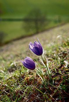 Britain's wild flowers: Pasque Flower
