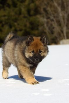 The Eurasier is one of the few breeds whose history can be traced from the first generation.   The Eurasier has a blue-black tongue, an inheritance from his Chow-Chow forebears.  The Eurasier's long coat can be any shade of red, wolf gray, black, or black and tan.  The people-loving Eurasier needs to live in the house with his family.