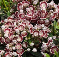 """Kalmia latifolia """"Minuet"""""""