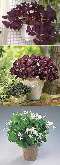 Цветок оксалис. Правильный уход и посадка